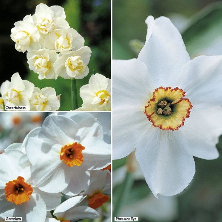 Daffodil Bulbs - Scented Collection