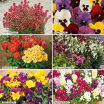 Extra Value Plug Plants - Scented Bedding Collection