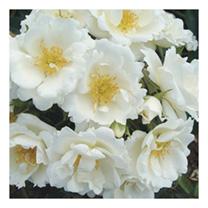 Rose Plant - Sheer Silk
