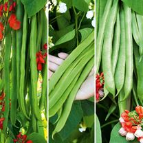 Bean (Runner) Plants - Super Trio Mix