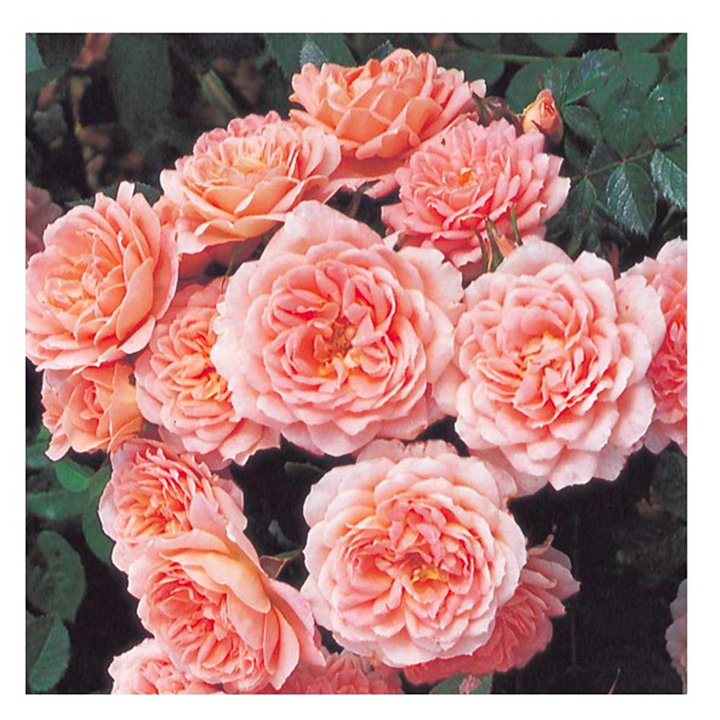Rose Plant - Sweet Dream