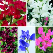 Sweet Pea Seeds - Collection