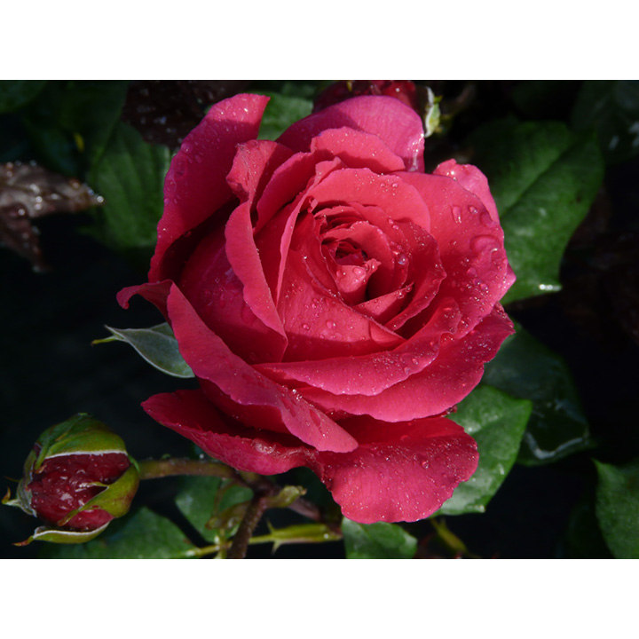 Rose Plant - Tower Bridge