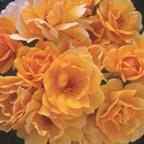 Rose Plant - Varenna Allen