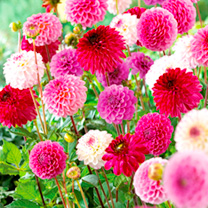 Dahlia Tubers - Pink/Purple Pompon Mix