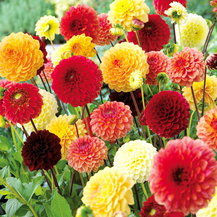 dahlia tubers red yellow orange pompon mix all flower bulbs flower bulbs flowers. Black Bedroom Furniture Sets. Home Design Ideas
