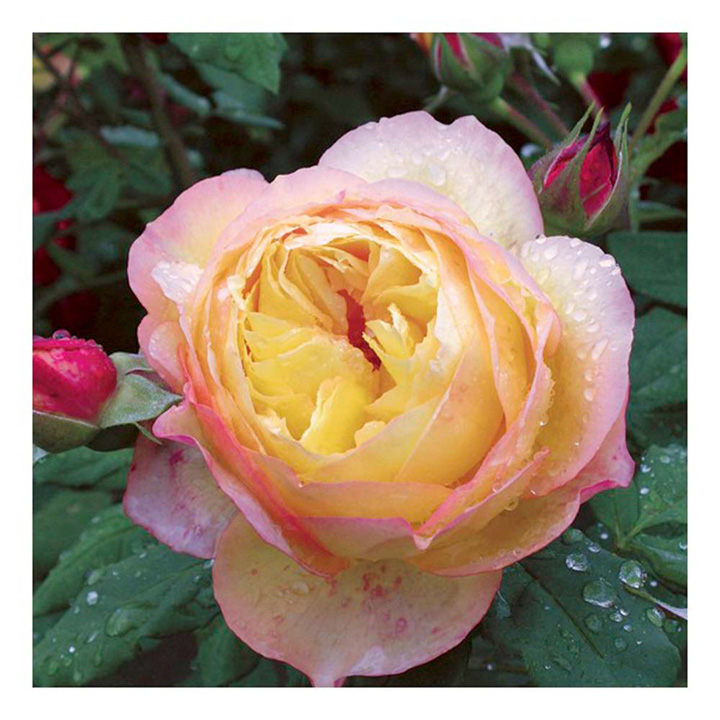 Rose Plant - Well Being