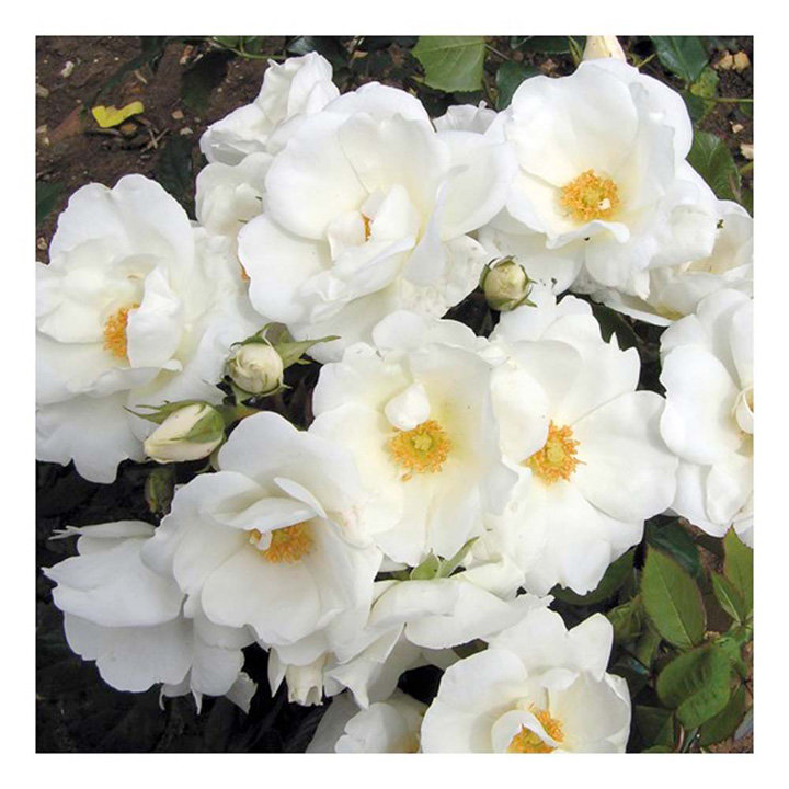 Rose Plant - White Star