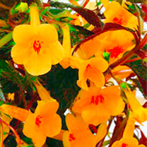 Achimenes Plant Yellow Beauty
