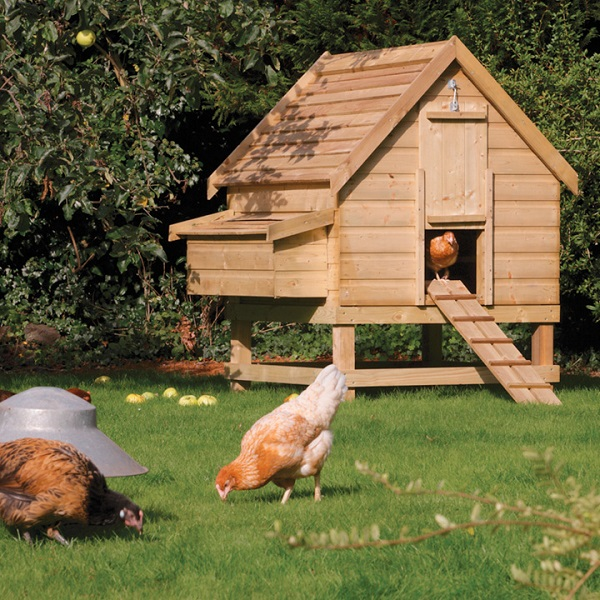 How to get your chickens to settle in?