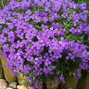 View our Aubrieta Mix