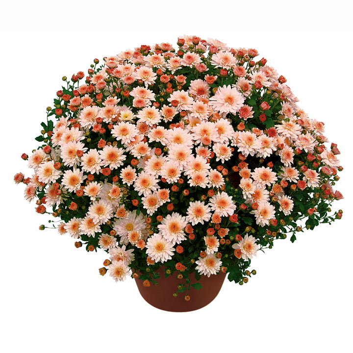 View our Chrysanthemum Plants