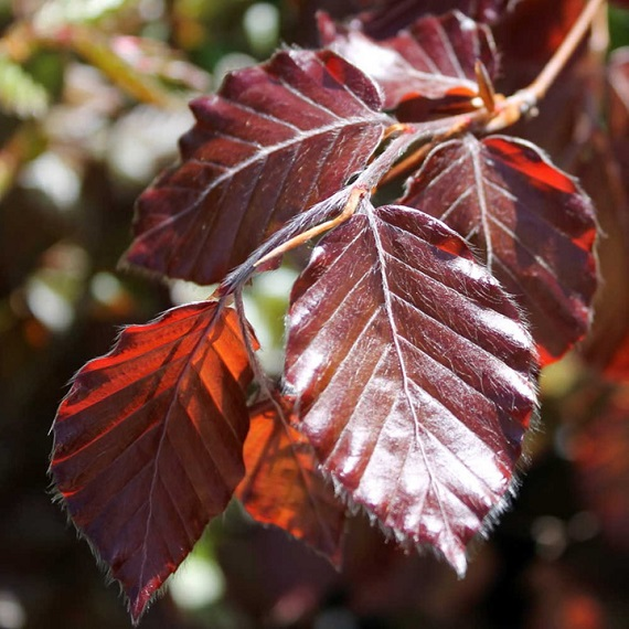 View our Hedging Plants