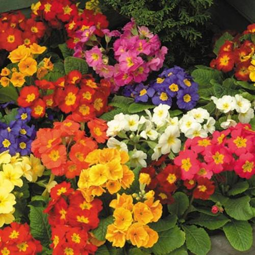 View our Beautiful Polyanthus - Spring Fever