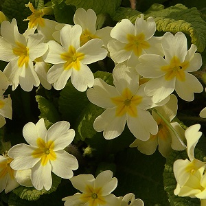 View our amazing offer on the beautiful Primula Vulgaris Plant
