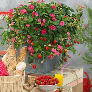 Save 62% on Strawberry Plants