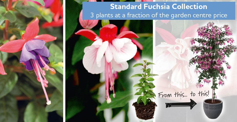 fuchsia collection