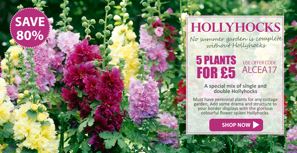 Save up to 80% on Hollyhocks