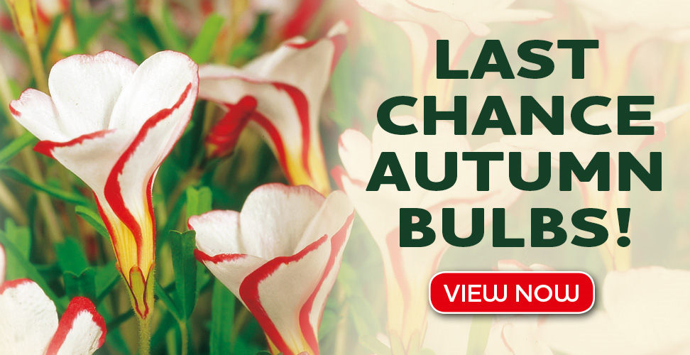 last chance to snap up our amazing autumn flowering bulbs
