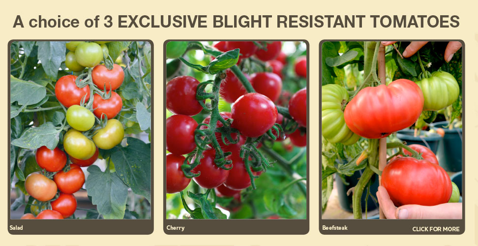 exclusive blight resistant tomatoes