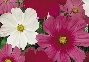 Flowers to sow in April