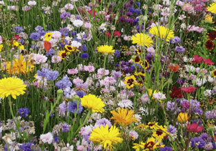 Flowers to sow in June