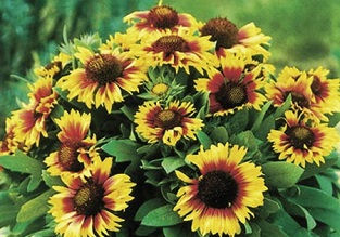 Flowers to sow in July