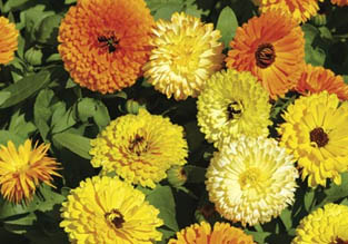 Flowers to sow in May