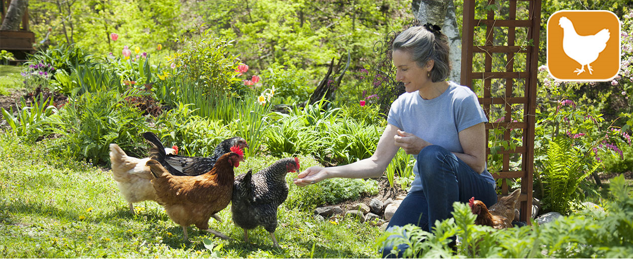 View our amazing keeping chickens range