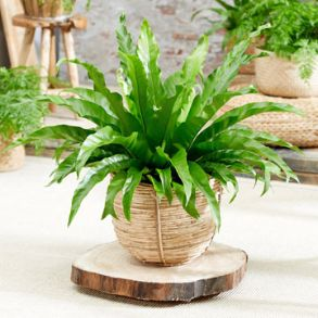 2L Fern Plants - Only £5
