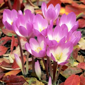Colchicum Bulbs - Save £3.99