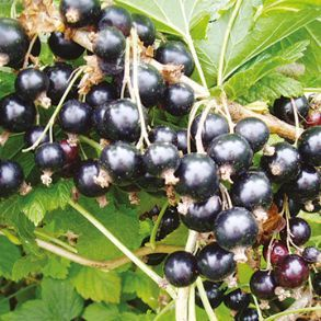 Half Price 2L Blackcurrant Plants