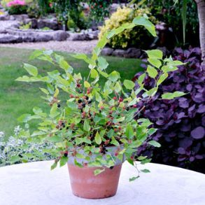 Half Price 5L Mulberry Plants