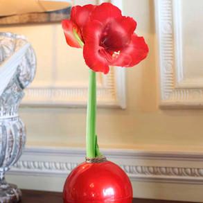 Festive Amaryllis Bulbs