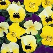 Flower Seed V to Z
