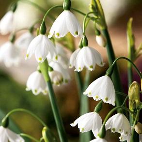 Naturalising Bulbs