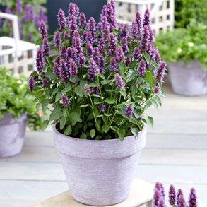 2 Litre Perennials
