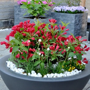 Potted Shrubs