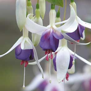 3x 2L Fuschias for £10