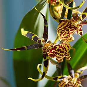 Winter Orchids - 2 for £40
