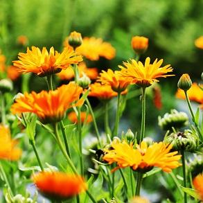 Organic Flower Seeds