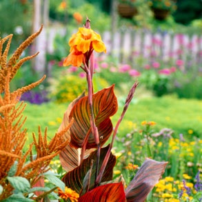 Cannas & Grasses