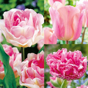 Tulip Colour Collections