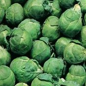 Brussel Sprout Seeds