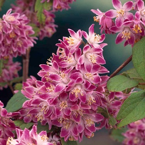 Chelsea Favourite Shrubs