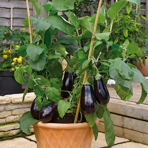 Grafted Veg Potted
