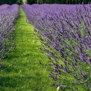Lavender Phenominal