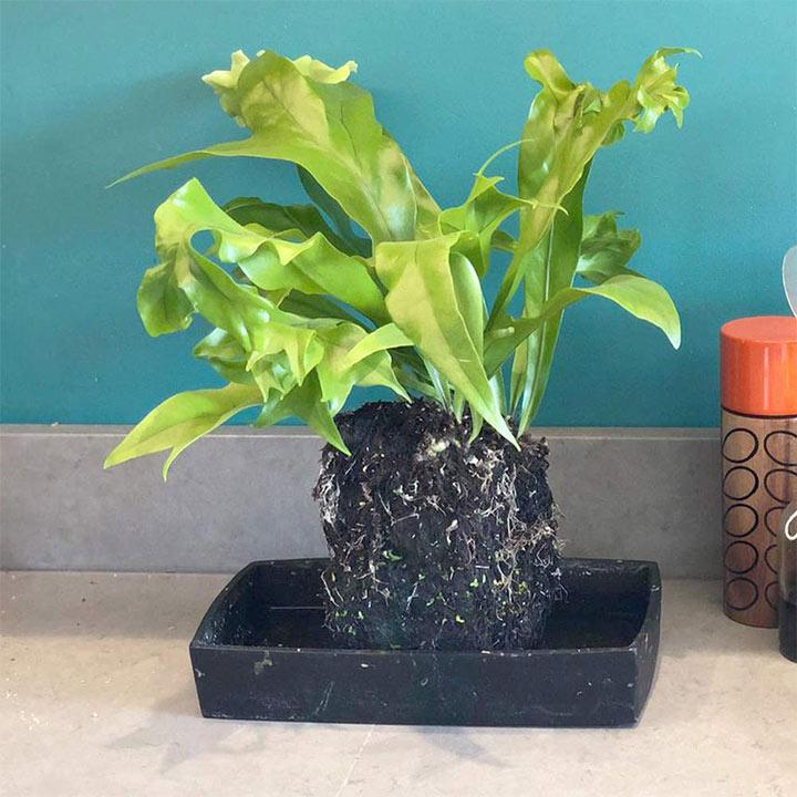 Lava Plant - Microsorum Punctatum Green Flame