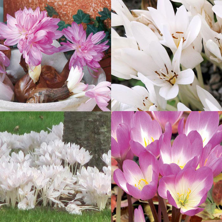 Colchicum Bulbs - Collection