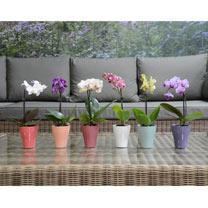 Orchid Plant - Miniature